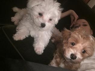 Maltipoo Puppy For Sale in REDMOND, WA