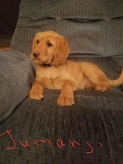 Labradoodle Puppy For Sale in CASPER, WY