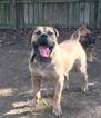 Boerboel Puppy For Sale in CINCINNATI, OH