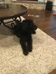 Labradoodle-Poodle (Standard) Mix Puppy For Sale in OWASSO, OK, USA