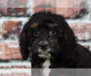 Cocker Spaniel-Poodle (Miniature) Mix Puppy for sale in BEL AIR, MD, USA