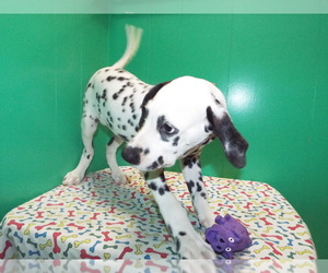 Dalmatian Dog for Adoption in PATERSON, New Jersey USA