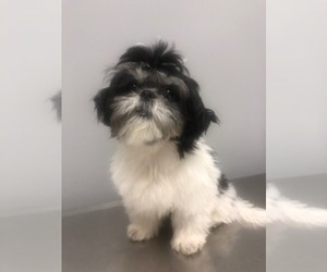 Shih Tzu Puppy for sale in GOODYEAR, AZ, USA