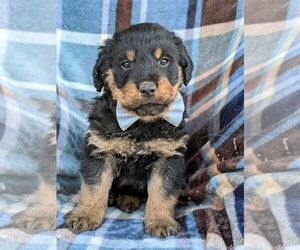 Rottle Puppy for sale in KIRKWOOD, PA, USA