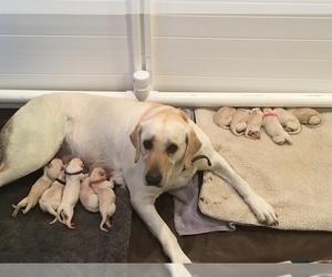Labrador Retriever Puppy for sale in EUGENE, OR, USA