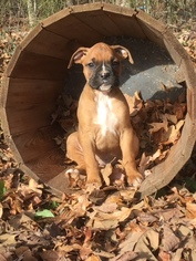 Boxer Puppy For Sale in MURRAY, KY, USA