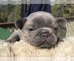 Small #21 French Bulldog