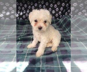 Maltese Puppy for sale in PALATKA, FL, USA