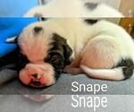 Small #18 American Bulldog