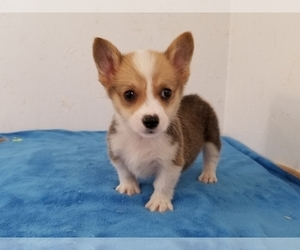 Pembroke Welsh Corgi Puppy for Sale in CLARK, Missouri USA