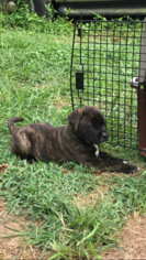 Boxer-Collie Mix Dogs for adoption in ELKRIDGE, MD, USA