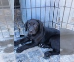 Labrador Retriever Puppy For Sale in SAN MARTIN, CA, USA