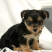 Yorkiepoo-Yorkshire Terrier Mix Puppy For Sale in GAP, PA, USA