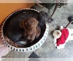Small #10 Goldendoodle-Labrador Retriever Mix