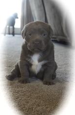 View Ad: Labrador Retriever Litter of Puppies for Sale near Michigan