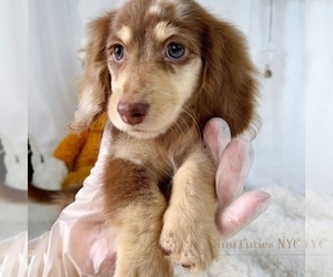 Dachshund Dog for Adoption in ASTORIA, New York USA
