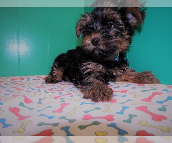 Medium Photo #6 Yorkshire Terrier Puppy For Sale in PATERSON, NJ, USA