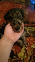 Airedale Terrier Puppy For Sale in PASADENA, TX, USA