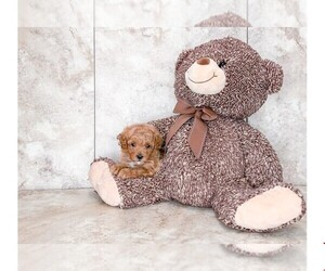 Poodle (Toy) Puppy for sale in CLEVELAND, NC, USA