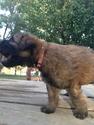 Puppy 4 Bouvier Des Flandres