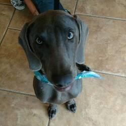 Weimaraner Puppy For Sale in TAMPA, FL, USA