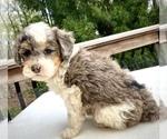 Small #2 Sheepadoodle