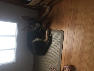 German Shepherd Dog Puppy for sale in WINDHAM, NH, USA