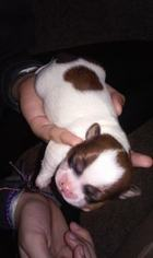 Zuchon Puppy For Sale in ZIMMERMAN, MN, USA