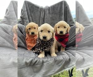 Golden Retriever Puppy for Sale in ARTHUR CITY, Texas USA