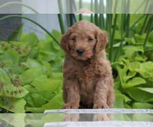Goldendoodle (Miniature) Puppy for sale in FREDERICKSBG, OH, USA
