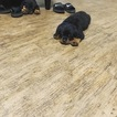 Rottweiler Puppy For Sale in BAKERSFIELD, CA,