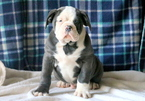 Olde English Bulldogge Puppy For Sale in MOUNT JOY, PA, USA