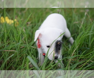 Jack Russell Terrier Puppy for Sale in AMMON, Idaho USA