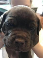 English Bulldog-Labrador Retriever Mix Puppy For Sale in MAYPEARL, TX, USA
