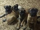 Bullmastiff Puppy For Sale in ZACHARY, Louisiana,