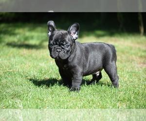 French Bulldog Dog for Adoption in Balmazujvaros, Hajdu-Bihar Hungary
