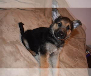 Alaskan Malamute-German Shepherd Dog Mix Puppy for sale in WHITE CITY, OR, USA