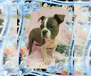 Boston Terrier Puppy for Sale in DUNDEE, Ohio USA