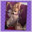 Chihuahua Puppy For Sale in BAKERSFIELD, CA, USA