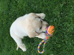 Great Pyrenees Puppy for sale in WOODINVILLE, WA, USA