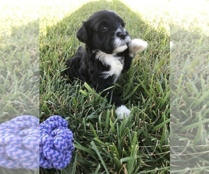 Portuguese Water Dog Puppy for Sale in BALDWIN, Kansas USA