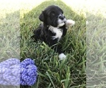 Puppy 1 Portuguese Water Dog
