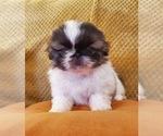 Small #3 Pekingese
