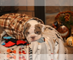 Bulldog Puppy for Sale in MONUMENT, Colorado USA