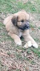Pyredoodle Puppy For Sale in GRAND SALINE, TX
