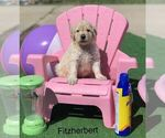 Goldendoodle Puppy For Sale in CLIMAX, NC, USA
