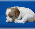 Brittany Puppy For Sale in KIRKWOOD, MO, USA