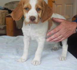 Brittany Puppy For Sale in LA GRANDE, OR