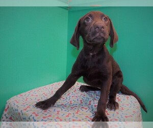 Labrador Retriever Puppy for sale in PATERSON, NJ, USA