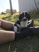 English Springer Spaniel Puppy For Sale in EATON RAPIDS, MI, USA